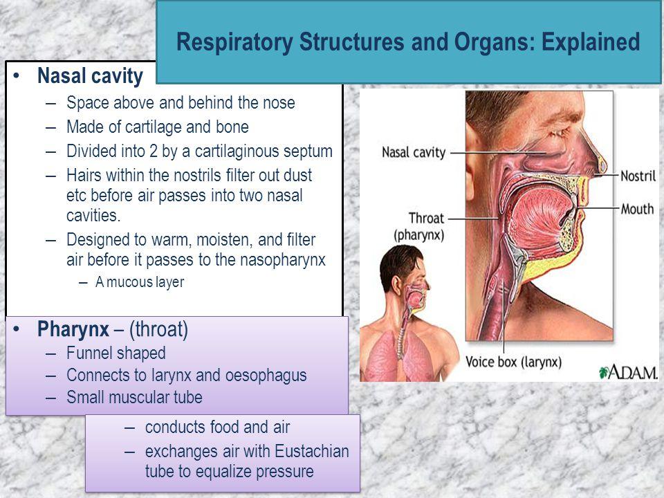 Larynx – (voice box) – Connects the pharynx and the trachea.
