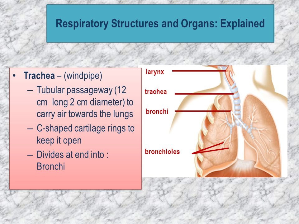 larynx trachea bronchi bronchioles Respiratory Structures and Organs: Explained
