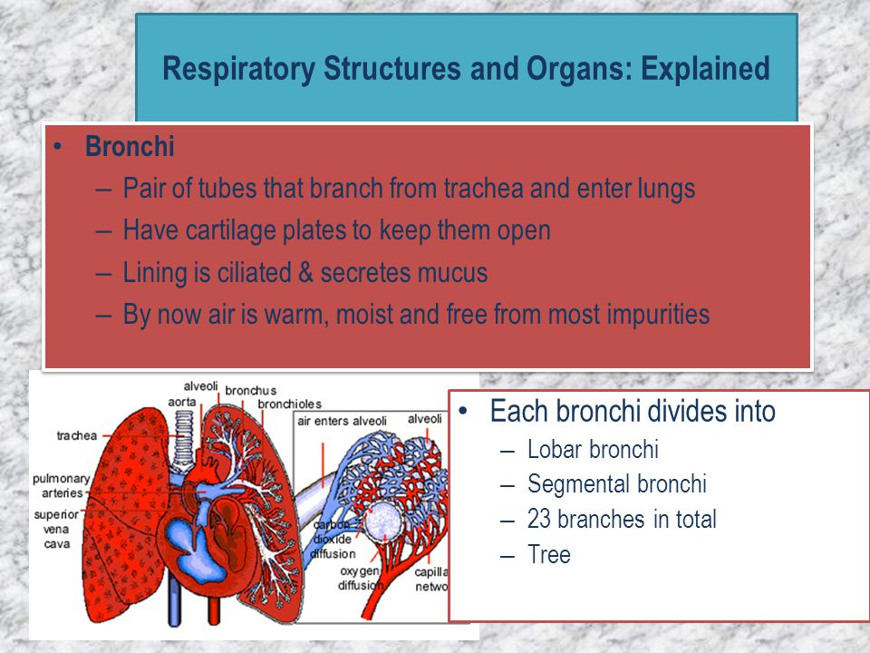 Bronchioles – – tiny tubes extend from the bronchi – lacking cartilage and cilia – possess smooth muscle bronchiole smooth muscle Respiratory Structures and Organs: Explained – They about 1mm diameter – Terminate in clusters of alveoli