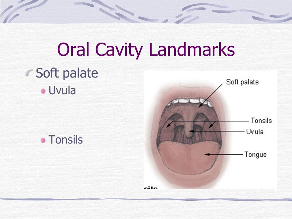 Oral Cavity Landmarks Soft palate Uvula Tonsils