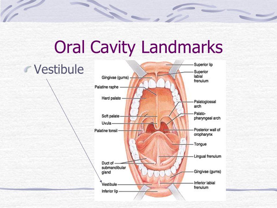 Oral Cavity Landmarks Vestibule