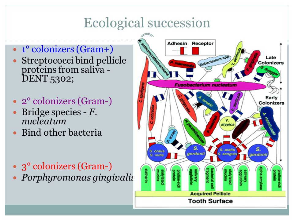 Ecological succession 1° colonizers (Gram+) Streptococci bind pellicle proteins from saliva - DENT 5302; 2° colonizers (Gram-) Bridge species - F.