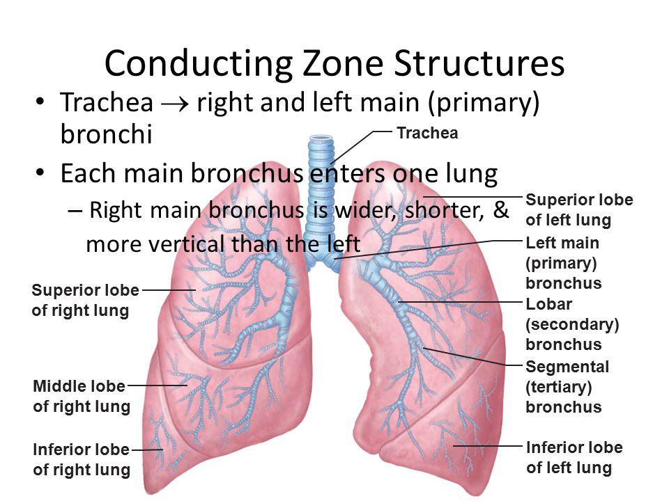 Figure 22.7 Trachea Superior lobe of right lung Middle lobe of right lung Inferior lobe of right lung Superior lobe of left lung Left main (primary) b