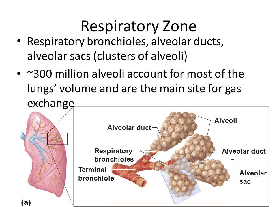 Respiratory Zone Respiratory bronchioles, alveolar ducts, alveolar sacs (clusters of alveoli) ~300 million alveoli account for most of the lungs' volu