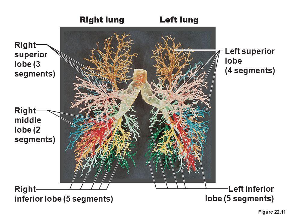 Figure 22.11 Right superior lobe (3 segments) Right middle lobe (2 segments) Right inferior lobe (5 segments) Left superior lobe (4 segments) Left inf