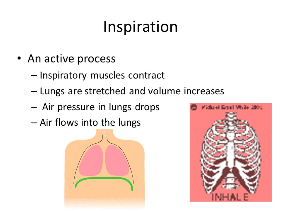 Inspiration An active process – Inspiratory muscles contract – Lungs are stretched and volume increases – Air pressure in lungs drops – Air flows into