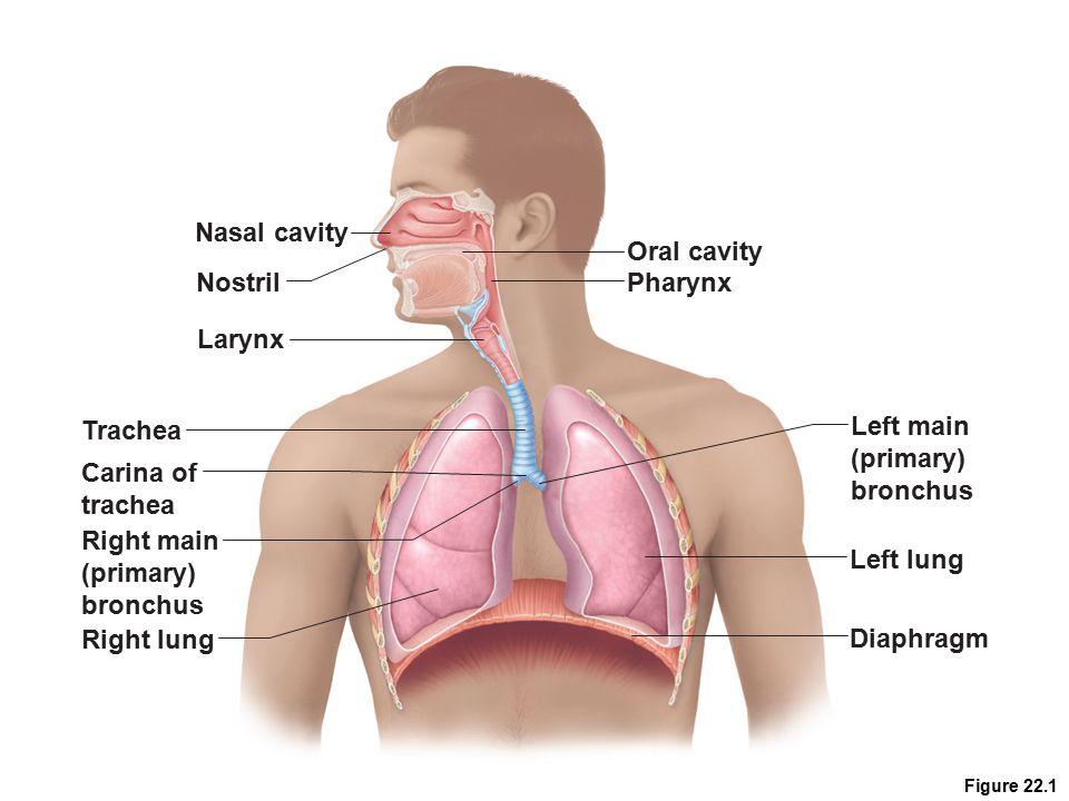 Figure 22.1 Nasal cavity Nostril Oral cavity Pharynx Larynx Trachea Carina of trachea Left main (primary) bronchus Right main (primary) bronchus Right