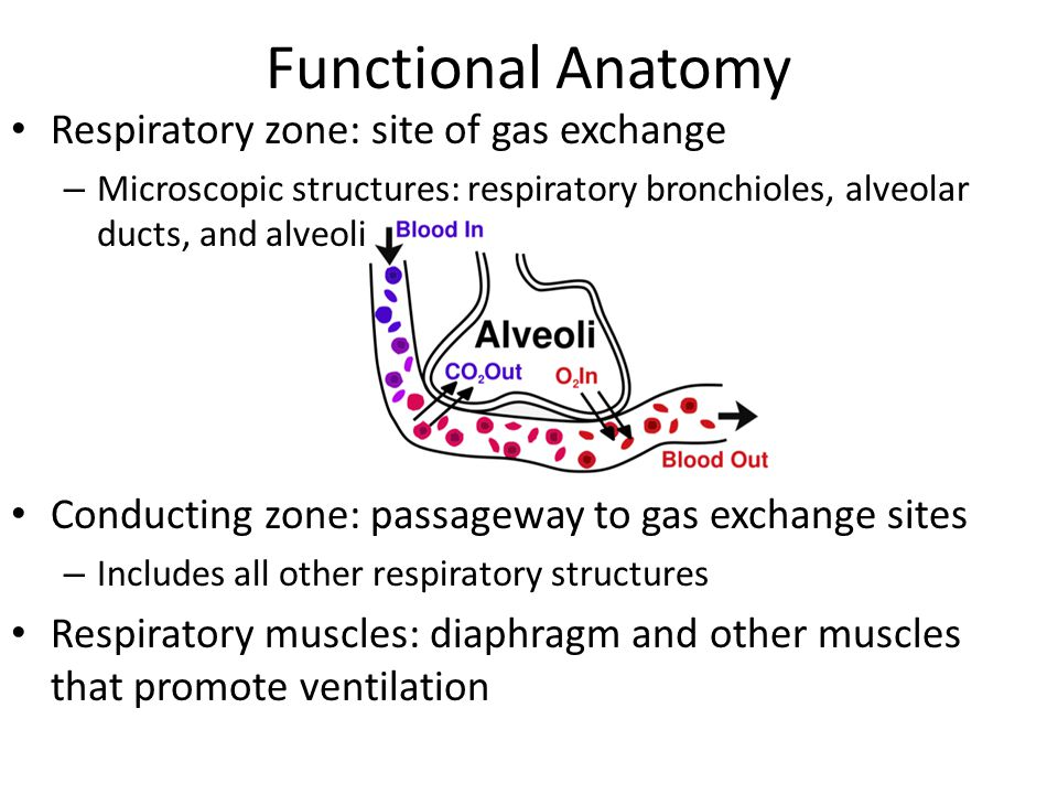 Functional Anatomy Respiratory zone: site of gas exchange – Microscopic structures: respiratory bronchioles, alveolar ducts, and alveoli Conducting zo