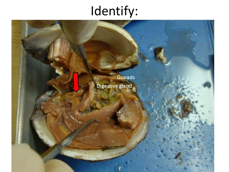 Identify: Digestive gland Gonads
