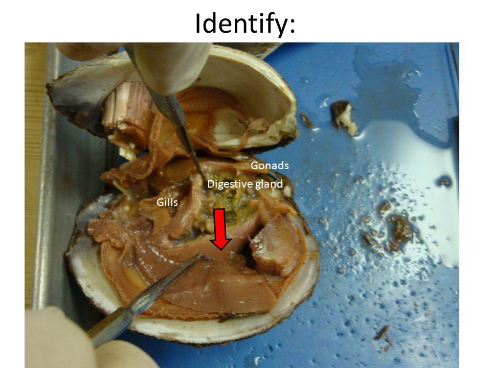 Identify: Digestive gland Gonads Gills