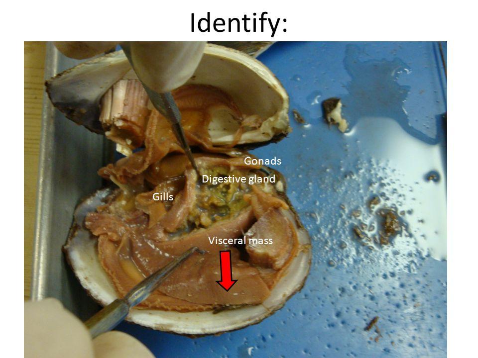 Identify: Digestive gland Gonads Visceral mass Gills