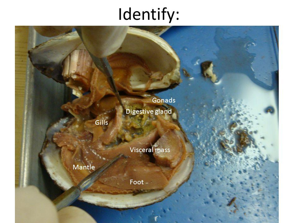 Identify: Digestive gland Gonads Gills Visceral mass Foot Mantle
