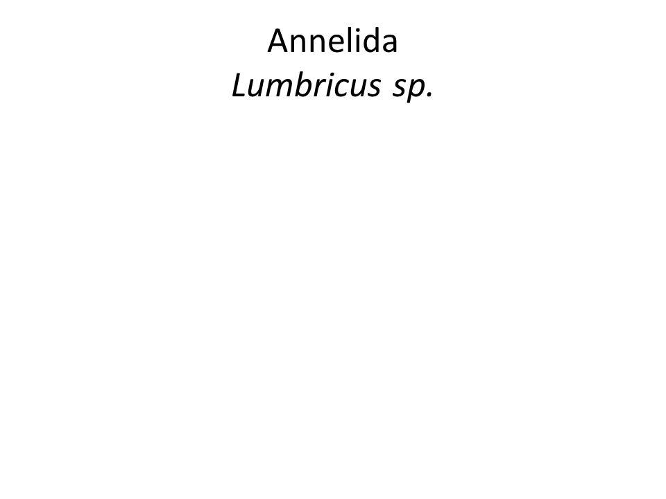 Annelida Lumbricus sp.