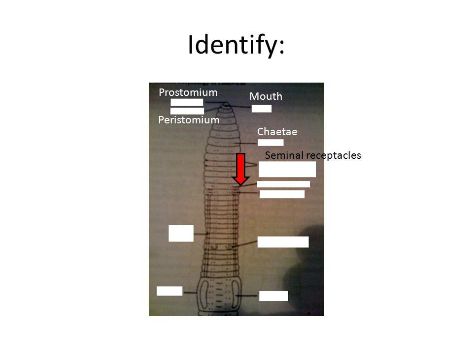 Identify: Mouth Prostomium Peristomium Chaetae Seminal receptacles