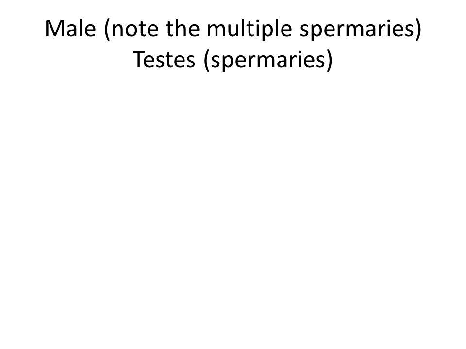 Male (note the multiple spermaries) Testes (spermaries)