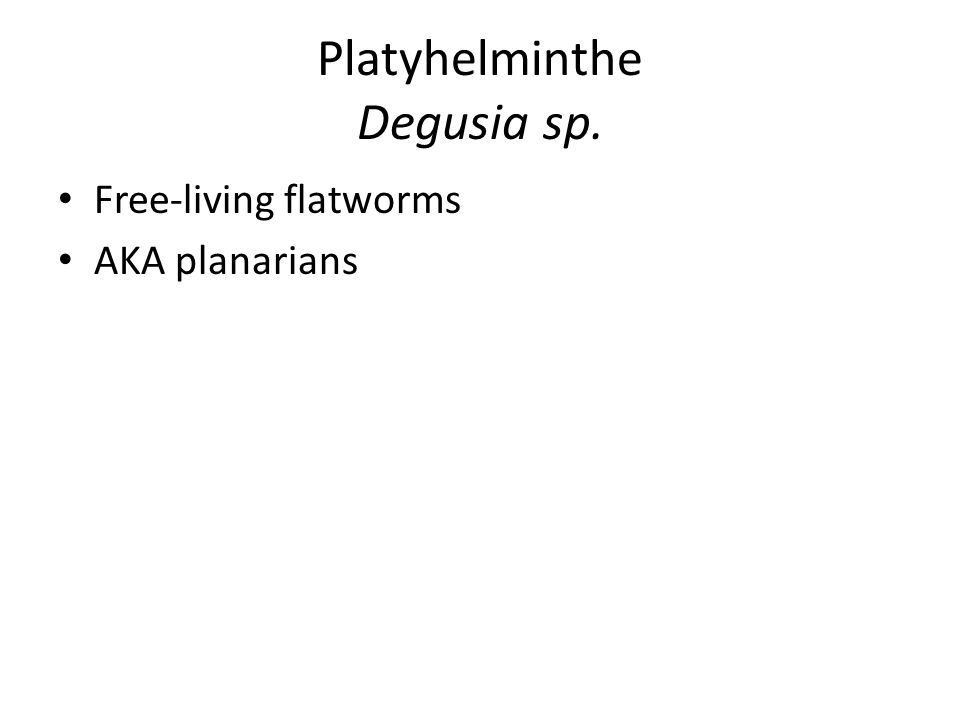 Platyhelminthe Degusia sp. Free-living flatworms AKA planarians