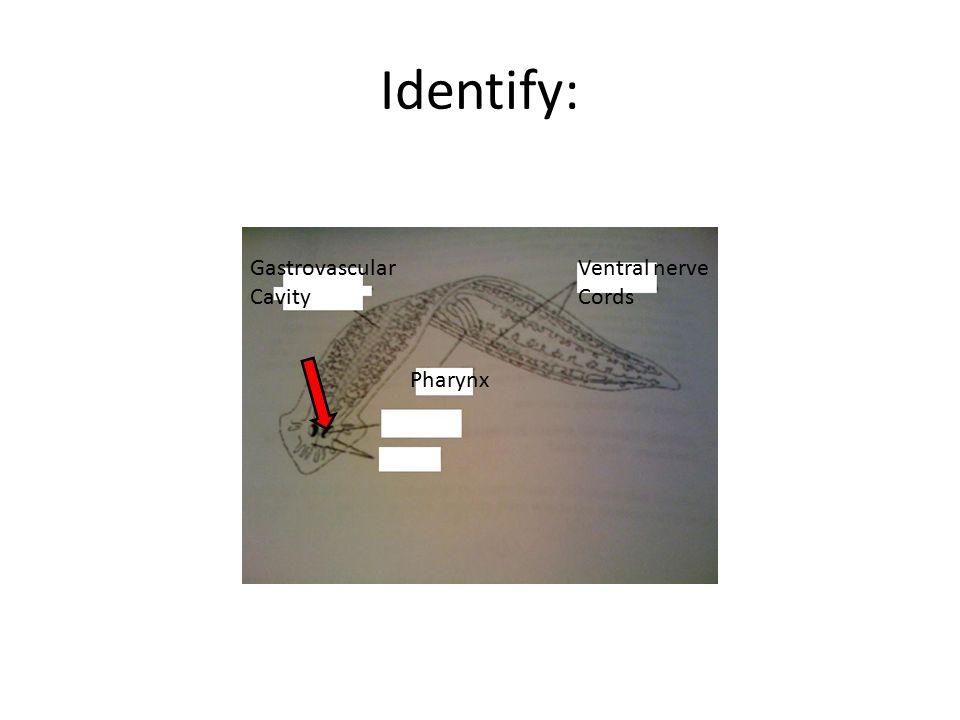 Identify: Ventral nerve Cords Pharynx Gastrovascular Cavity