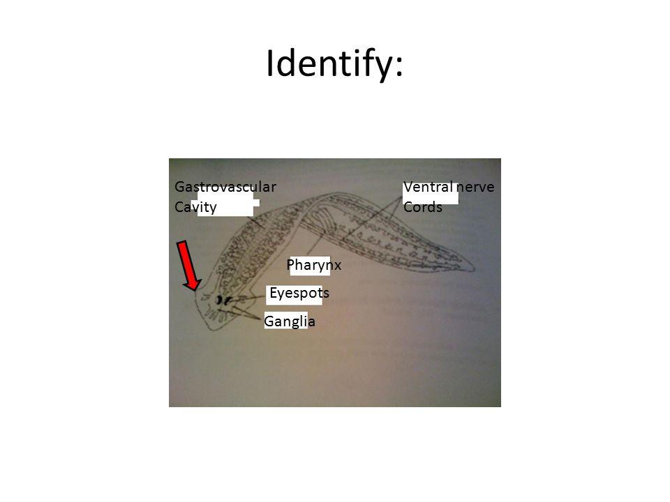 Identify: Ventral nerve Cords Pharynx Gastrovascular Cavity Eyespots Ganglia
