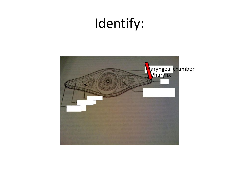 Identify: Pharyngeal chamber Pharynx