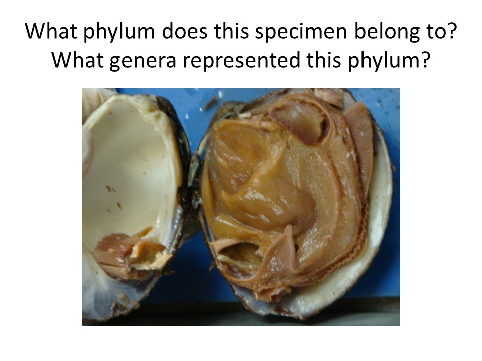 What phylum does this specimen belong to What genera represented this phylum