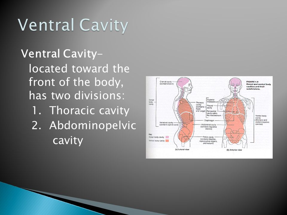 Ventral Cavity- located toward the front of the body, has two divisions: 1.