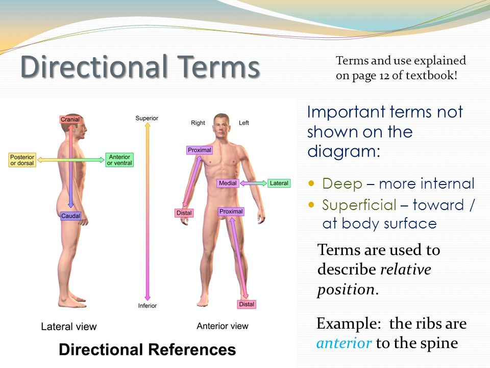 Important terms not shown on the diagram: Deep – more internal Superficial – toward / at body surface Directional Terms Terms and use explained on page 12 of textbook.