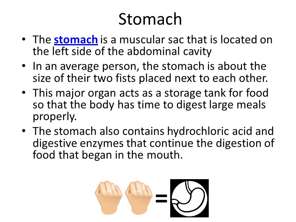 Stomach The stomach is a muscular sac that is located on the left side of the abdominal cavitystomach In an average person, the stomach is about the size of their two fists placed next to each other.