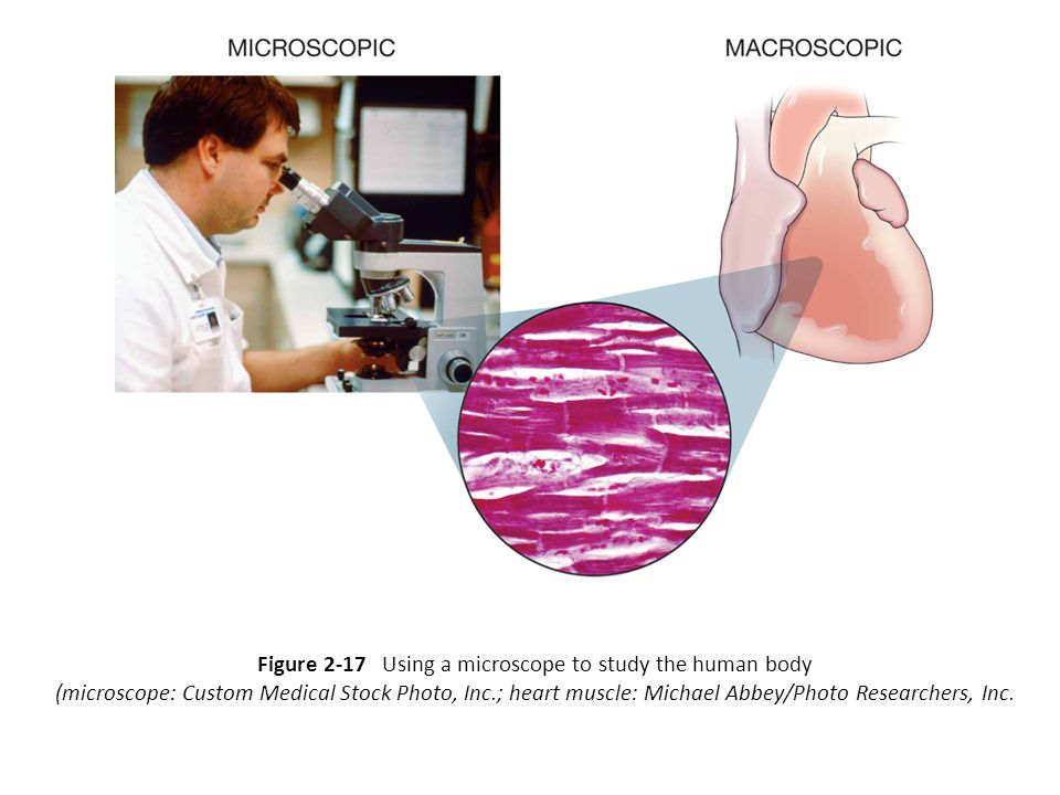 Figure 2-17 Using a microscope to study the human body (microscope: Custom Medical Stock Photo, Inc.; heart muscle: Michael Abbey/Photo Researchers, Inc.