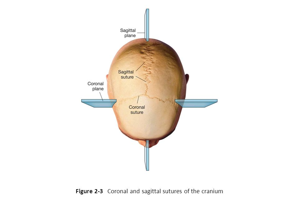 Figure 2-3 Coronal and sagittal sutures of the cranium