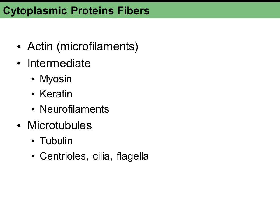 Cytoplasmic Proteins Fibers Actin (microfilaments) Intermediate Myosin Keratin Neurofilaments Microtubules Tubulin Centrioles, cilia, flagella
