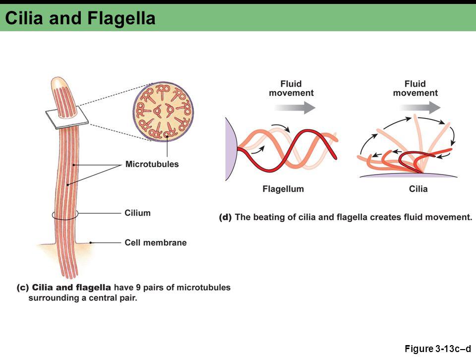 Cilia and Flagella Figure 3-13c–d