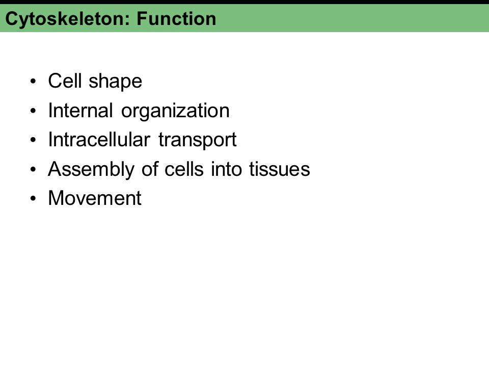 Cytoskeleton: Function Cell shape Internal organization Intracellular transport Assembly of cells into tissues Movement