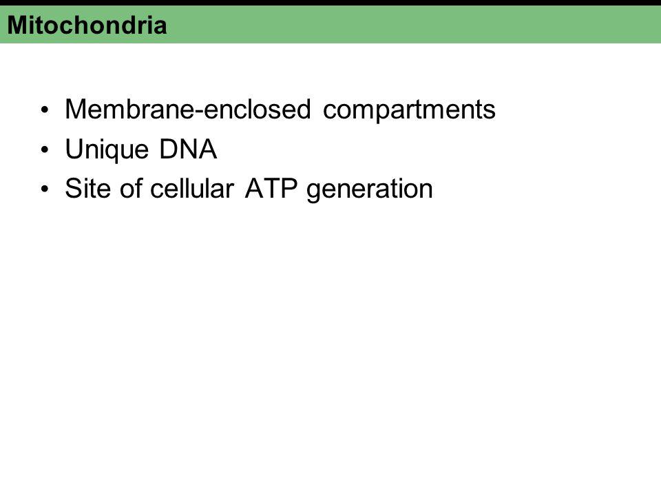 Mitochondria Membrane-enclosed compartments Unique DNA Site of cellular ATP generation