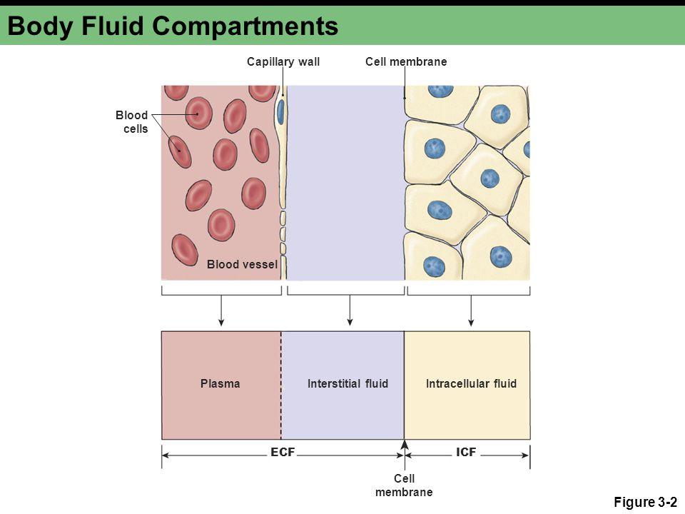 Body Fluid Compartments Figure 3-2 ICFECF PlasmaInterstitial fluidIntracellular fluid Blood vessel Cell membrane Cell membrane Blood cells Capillary w