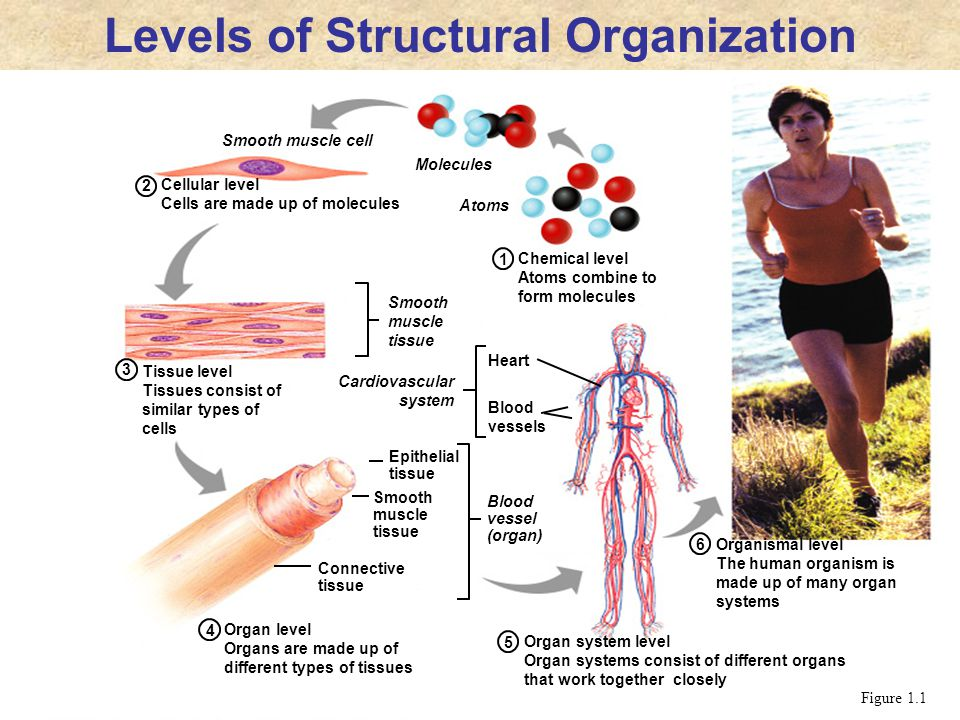 Chemical level Atoms combine to form molecules 1 2 3 4 Cellular level Cells are made up of molecules Tissue level Tissues consist of similar types of
