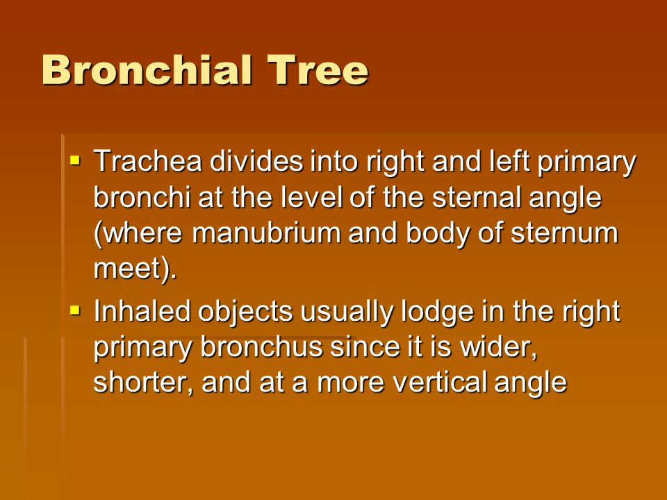 Bronchial Tree  Trachea divides into right and left primary bronchi at the level of the sternal angle (where manubrium and body of sternum meet).  I