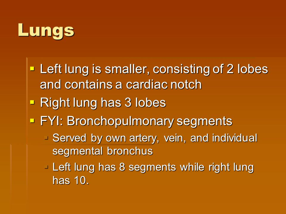 Lungs  Left lung is smaller, consisting of 2 lobes and contains a cardiac notch  Right lung has 3 lobes  FYI: Bronchopulmonary segments  Served by