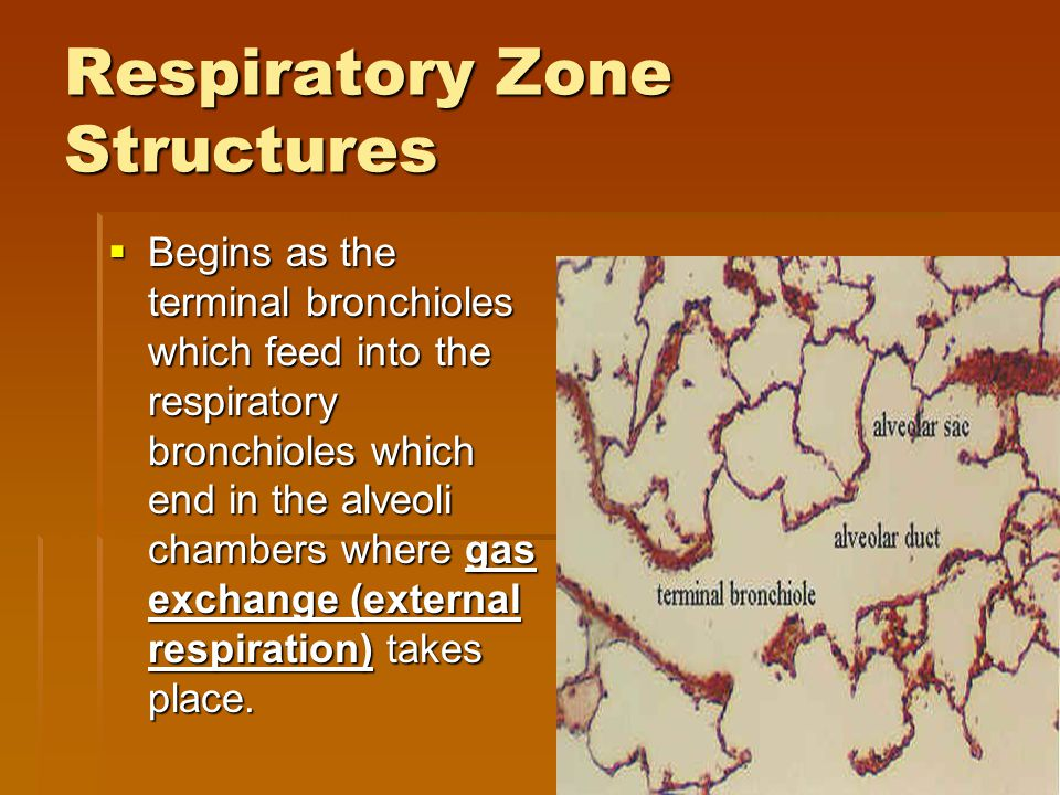 Respiratory Zone Structures  Begins as the terminal bronchioles which feed into the respiratory bronchioles which end in the alveoli chambers where g