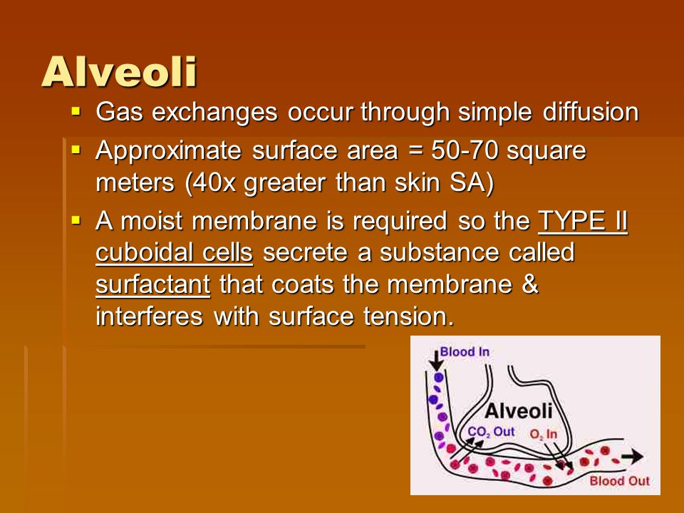 Alveoli  Gas exchanges occur through simple diffusion  Approximate surface area = 50-70 square meters (40x greater than skin SA)  A moist membrane