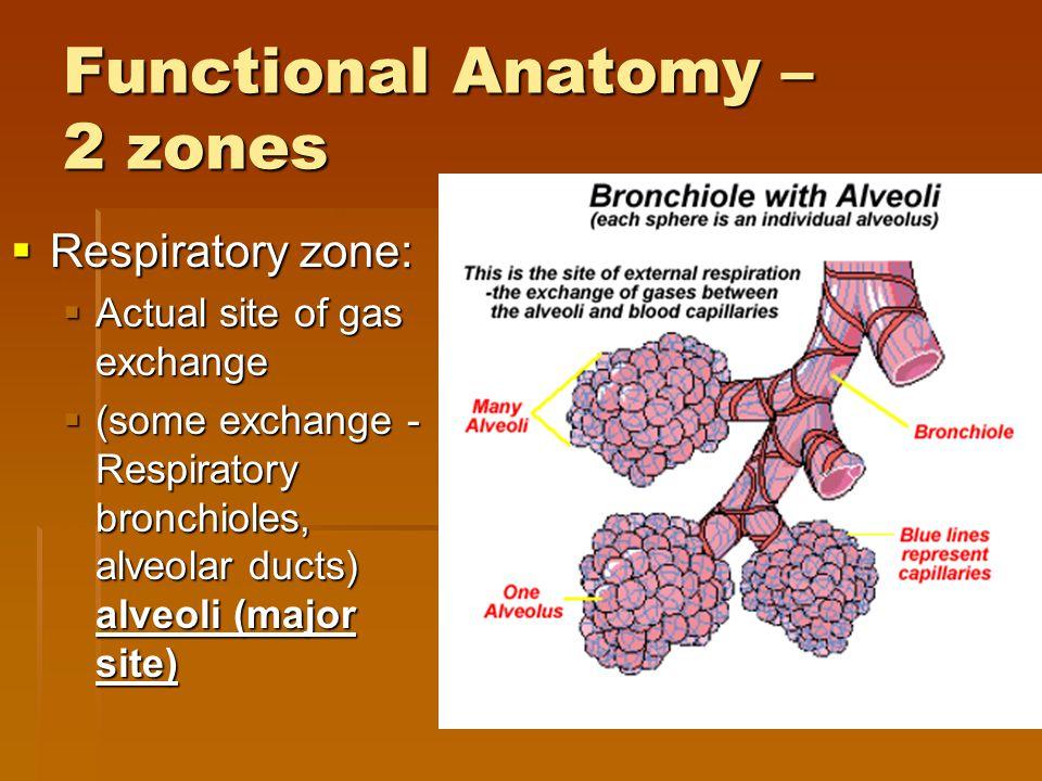 Functional Anatomy – 2 zones  Respiratory zone:  Actual site of gas exchange  (some exchange - Respiratory bronchioles, alveolar ducts) alveoli (ma