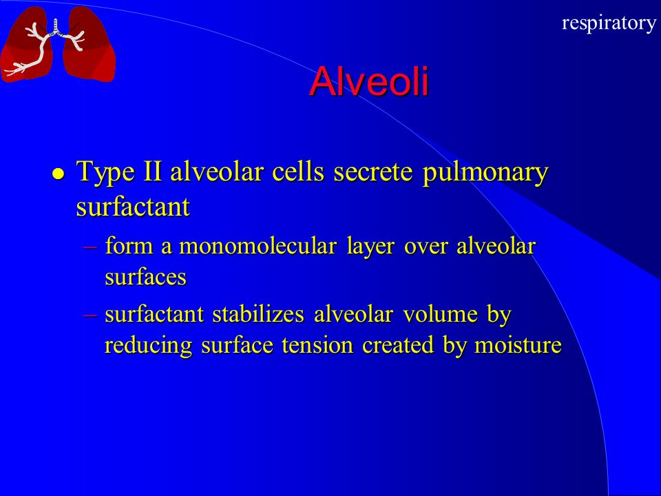 respiratory Alveoli Type II alveolar cells secrete pulmonary surfactant Type II alveolar cells secrete pulmonary surfactant –form a monomolecular laye