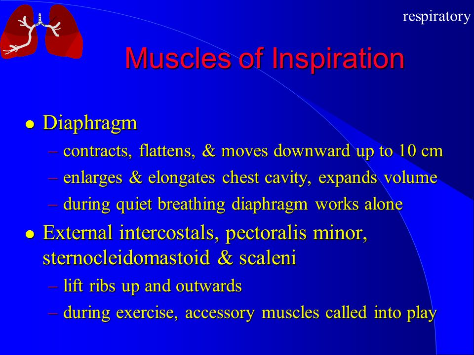 respiratory Muscles of Inspiration Diaphragm Diaphragm –contracts, flattens, & moves downward up to 10 cm –enlarges & elongates chest cavity, expands
