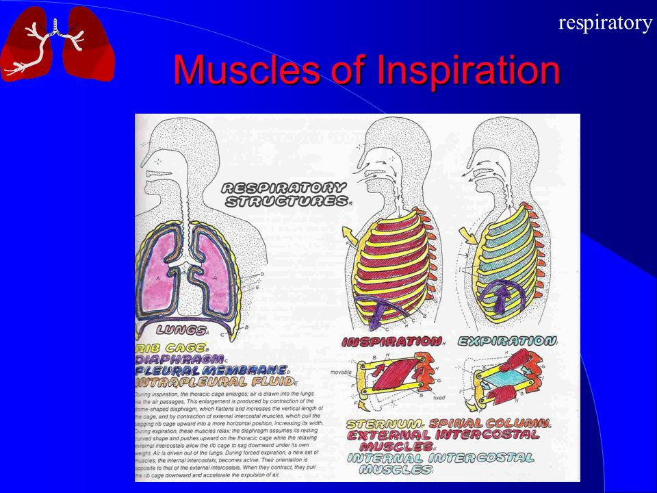 respiratory Muscles of Inspiration