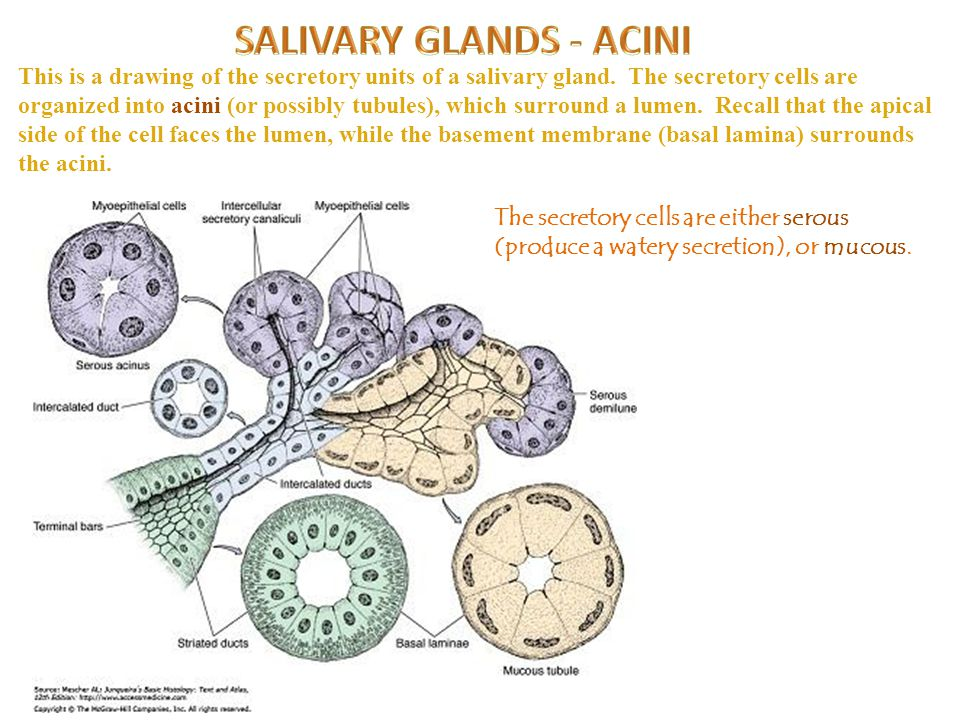 This is a drawing of the secretory units of a salivary gland.