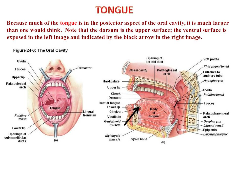 Because much of the tongue is in the posterior aspect of the oral cavity, it is much larger than one would think.