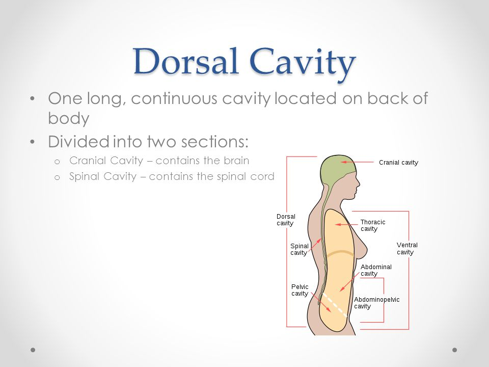 Dorsal Cavity One long, continuous cavity located on back of body Divided into two sections: o Cranial Cavity – contains the brain o Spinal Cavity – c