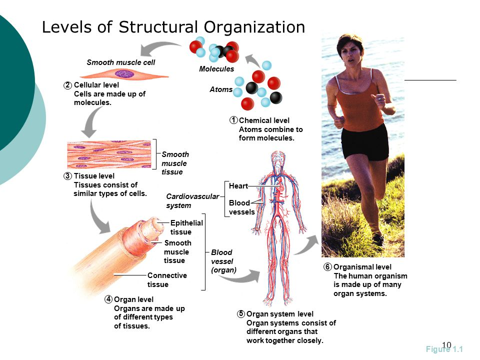 10 1 2 4 5 6 3 Smooth muscle cell Molecules Atoms Smooth muscle tissue Epithelial tissue Heart Blood vessels Smooth muscle tissue Connective tissue Blood vessel (organ) Cardiovascular system Cellular level Cells are made up of molecules.