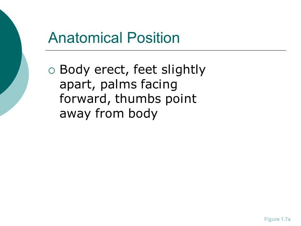 Anatomical Position  Body erect, feet slightly apart, palms facing forward, thumbs point away from body Figure 1.7a