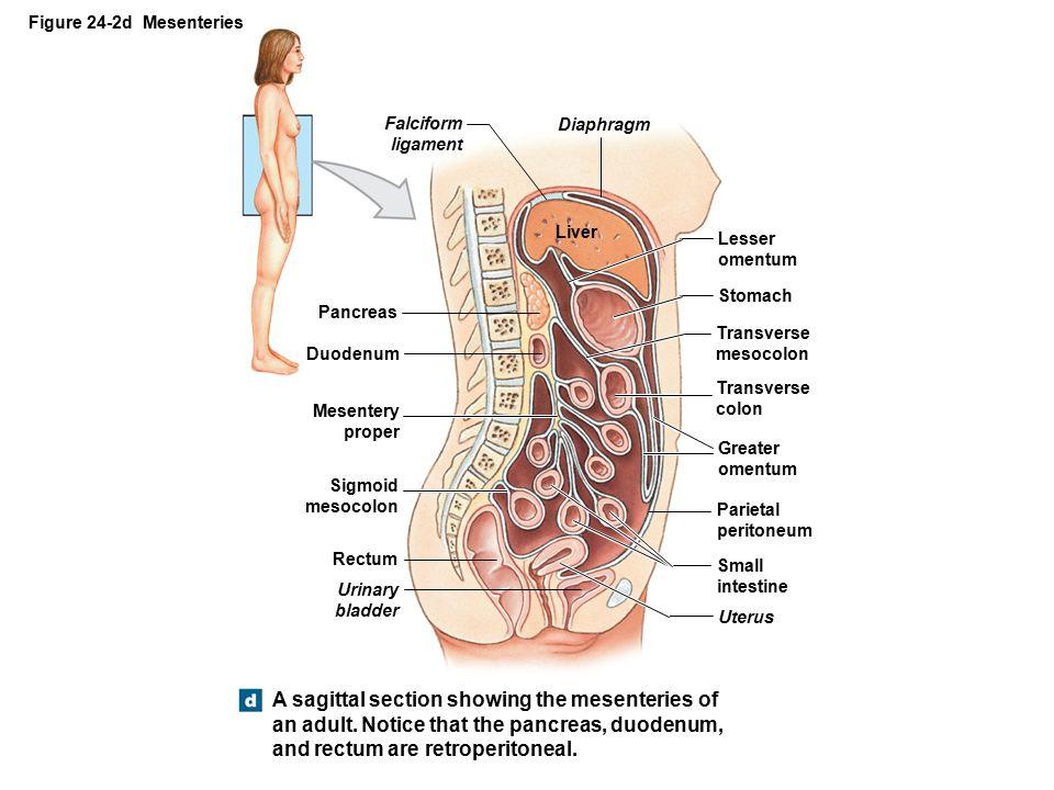 Figure 24-2d Mesenteries A sagittal section showing the mesenteries of an adult.
