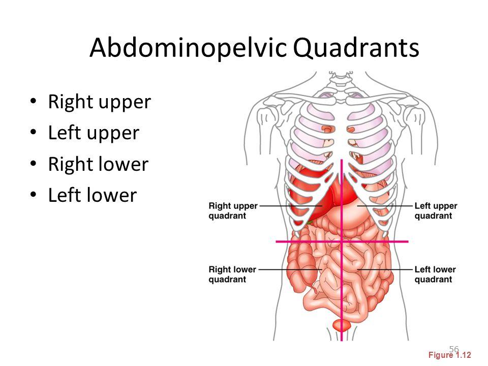Abdominopelvic Quadrants Right upper Left upper Right lower Left lower 56 Figure 1.12